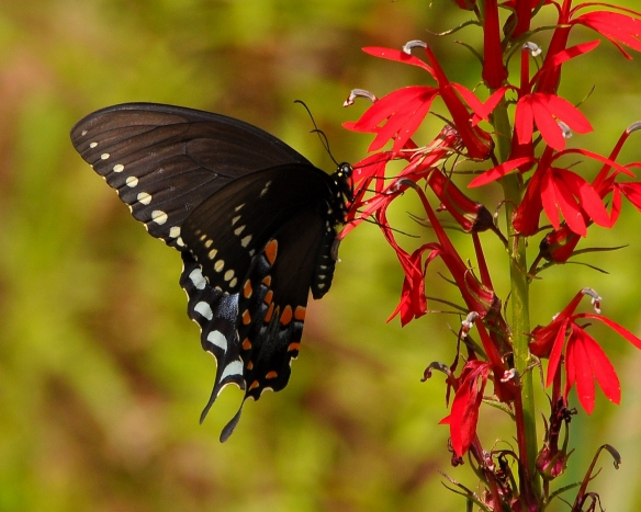 SpicebushSwallowtailCardinalFlower5Aug13#530E