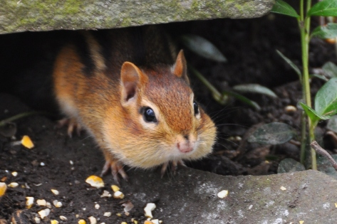 Chipmunk2May12#003E