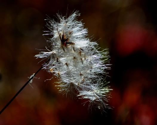 Cottongrass29Oct13#017E8x10