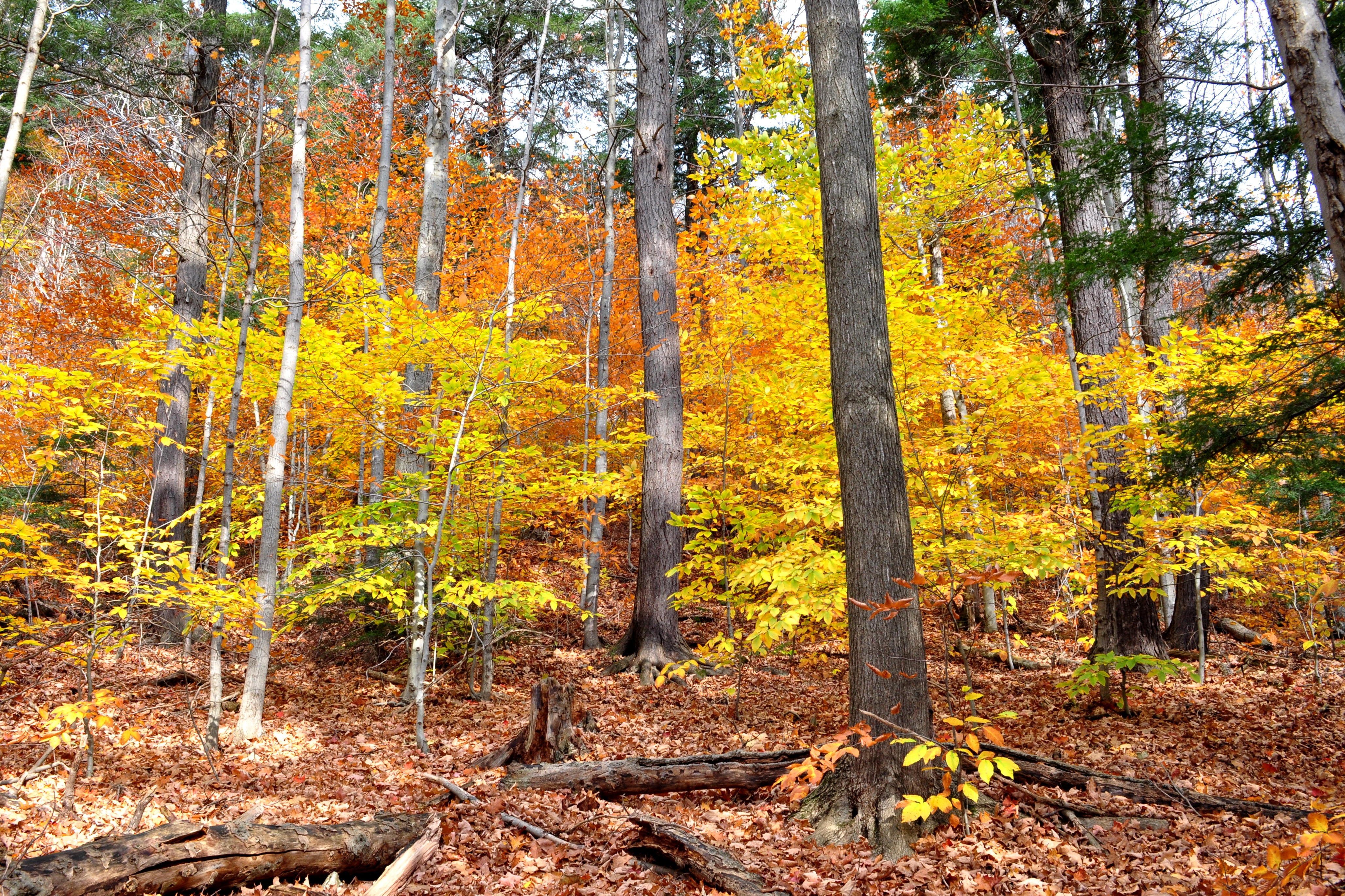 Beech Maple Forest ~ Forest gold american beech nick s nature pics