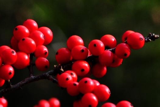 Winterberry2Nov13#022E