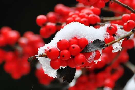 Winterberry8Nov13#013E
