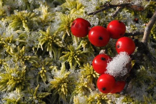 WinterberryFruitSnowMoss031E