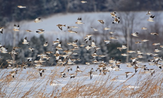 SnowBuntings19Jan14#005Ec3x5ps