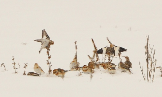 SnowBuntings29Dec12#085E5c3x5ps