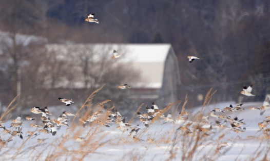 SnowBuntings19Jan14#016E3c3x5ps