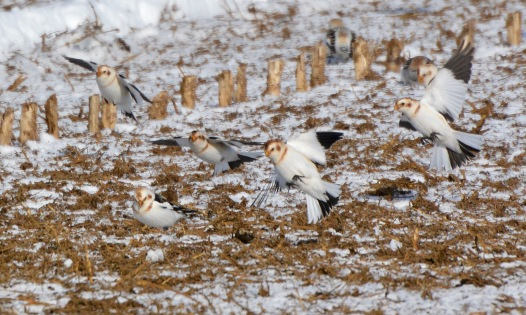 SnowBuntings8Feb14#045E2c5x7ps