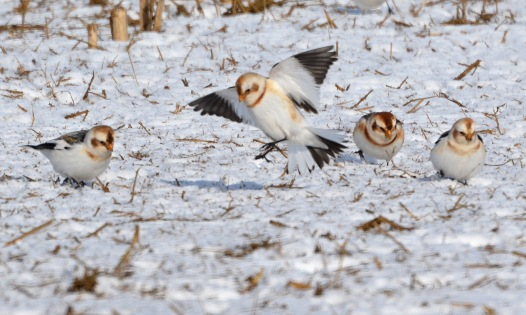 SnowBuntings8Feb14#074E2c3x5ps