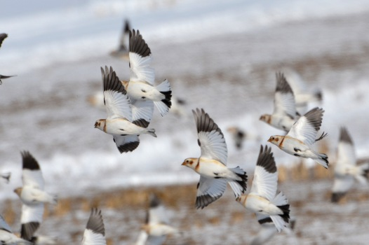 SnowBuntings8Feb14#079E2c5x7ps