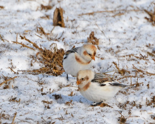 SnowBuntings8Feb14#135E2c8x10ps