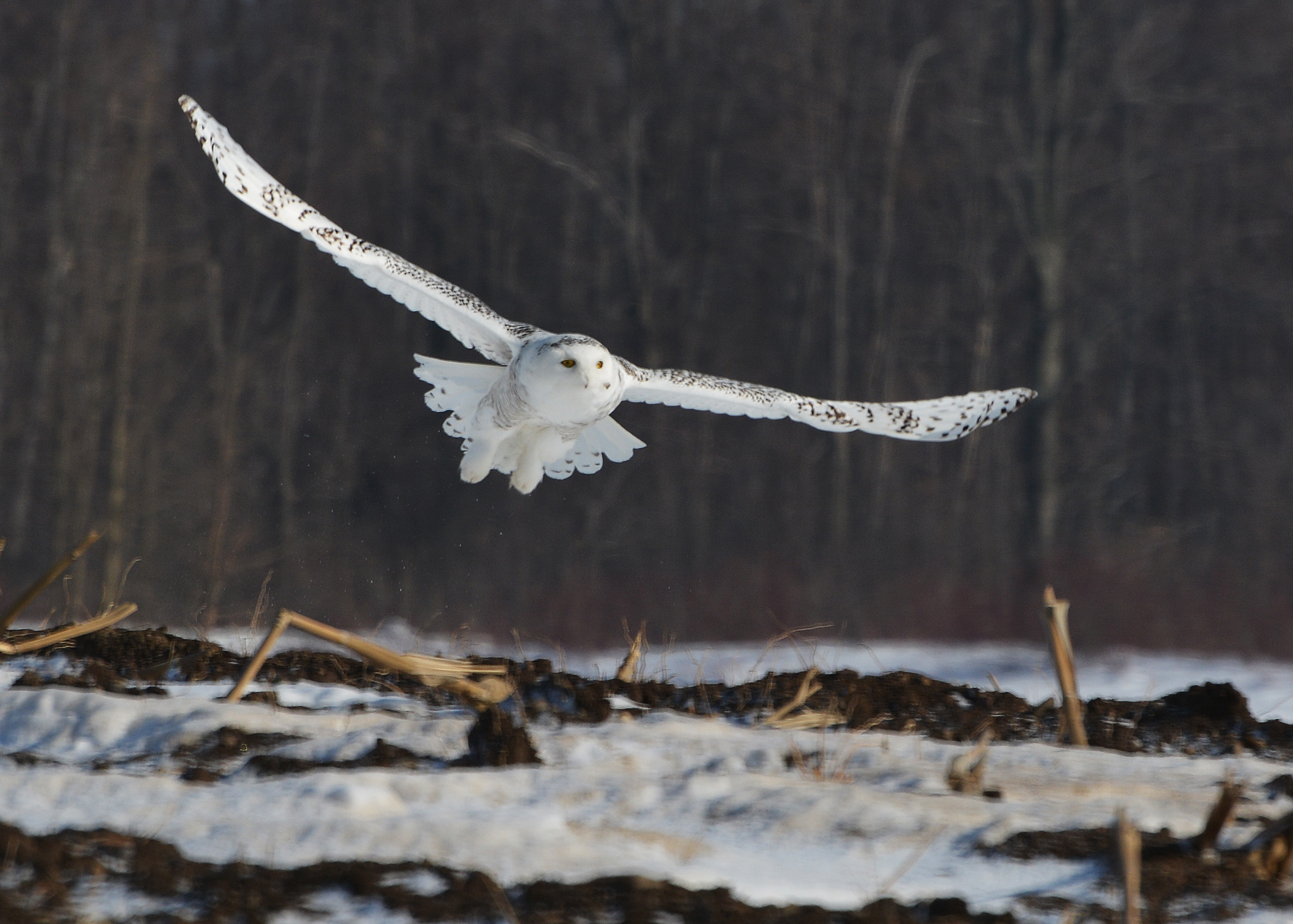 Snowy Owl hunting | Nick's Nature Pics
