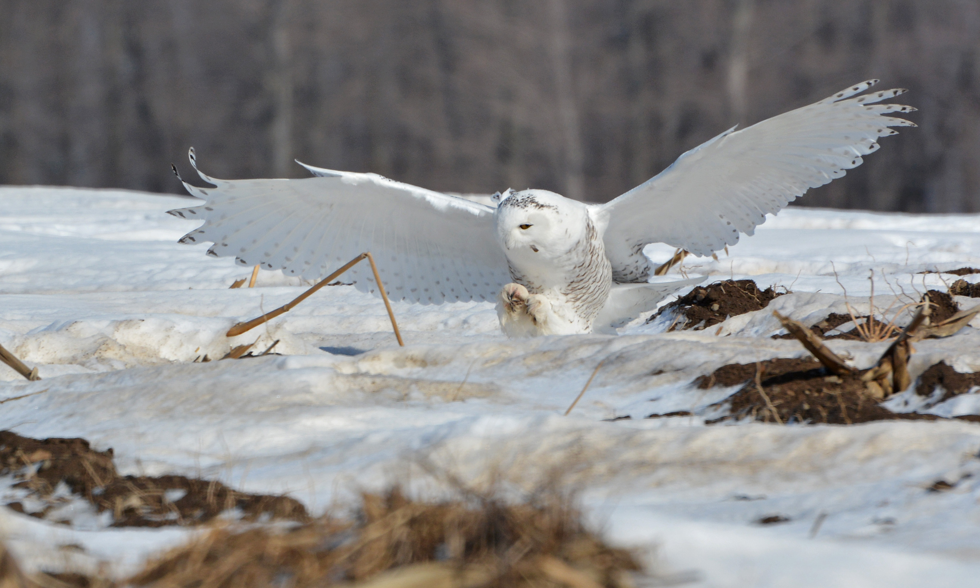 Snowy Owl hunting behavior | Nick's Nature Pics