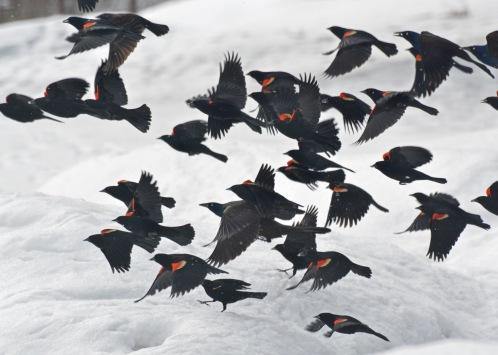 Blackbirds23Mar14#056Ec5x7