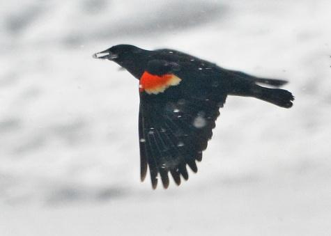 Blackbirds23Mar14#086E