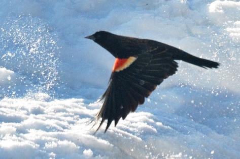 Blackbirds24Mar14#003E3