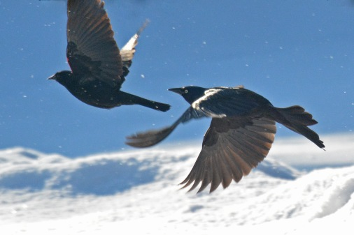 Blackbirds24Mar14#005E