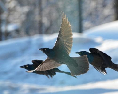Blackbirds24Mar14#011Ec8x10