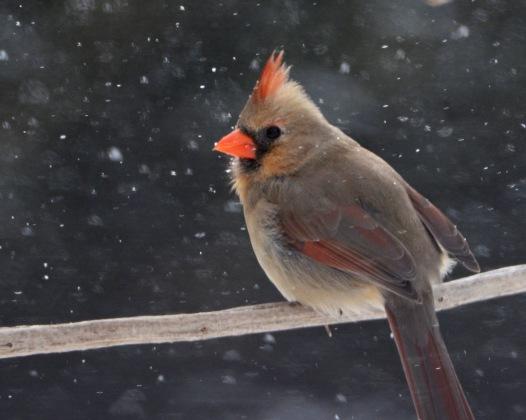 Cardinal16Mar14#035Ec8x10