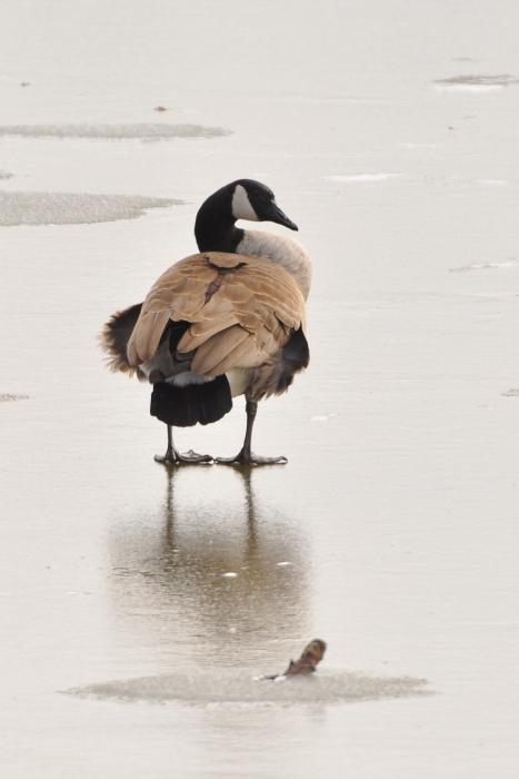 Goose28Feb12#026E3c5x7