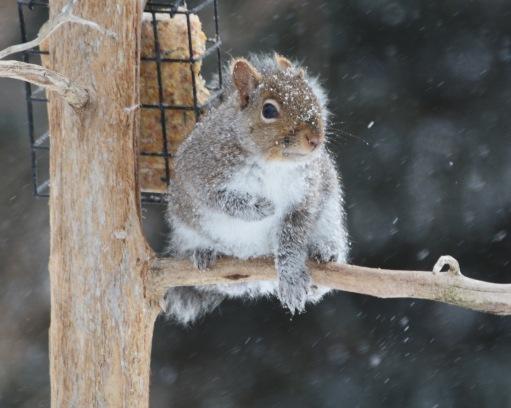 GraySquirrel26Mar14#005E2c8x10