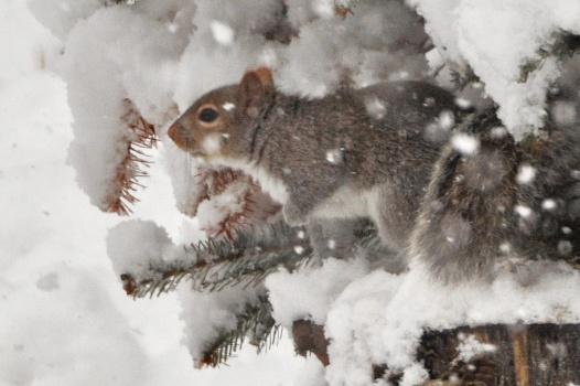 GraySquirrel2Mar12#051E