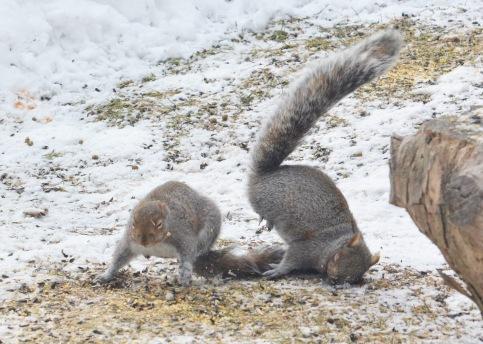 GraySquirrels22Mar14#018Ec5x7
