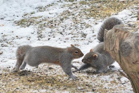 GraySquirrels22Mar14#019E