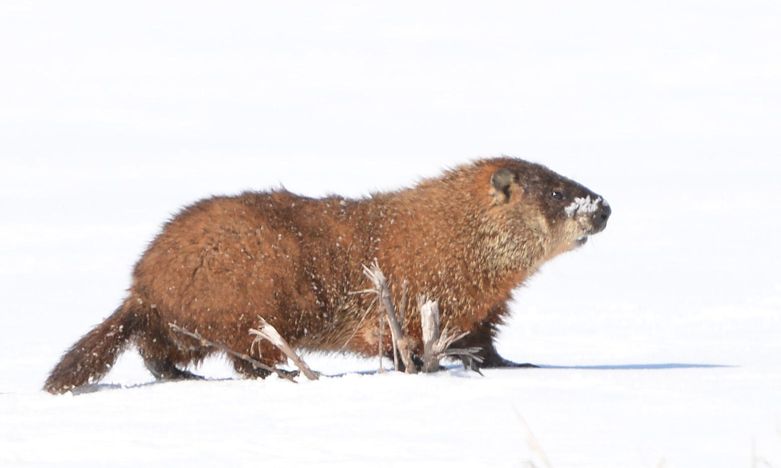 Groundhogs In Snow Nicks Nature Pics