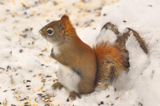RedSquirrel24Dec12#127E