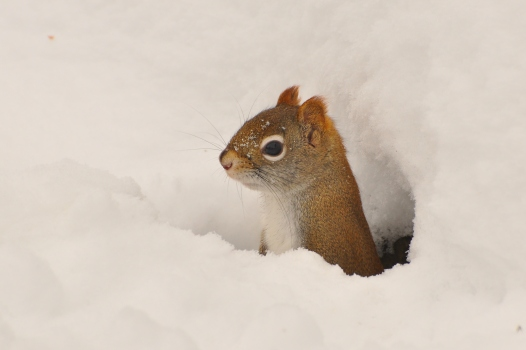 RedSquirrel26Dec12#201E