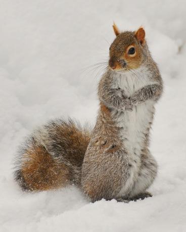 SquirrelGray28feb13#016E2