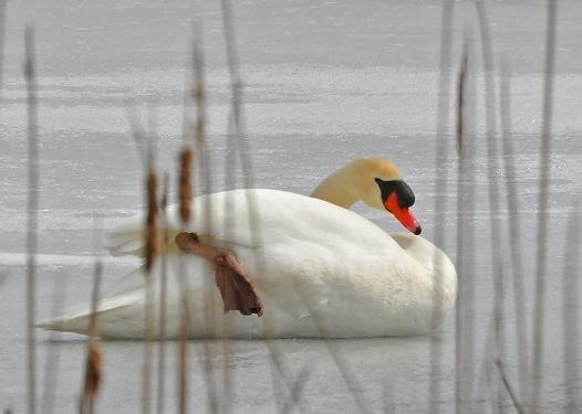 Swan25Mar13#010E2c5x7ps