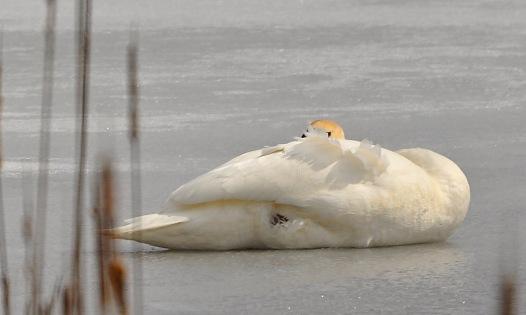Swan25Mar13#019E2c3x5ps