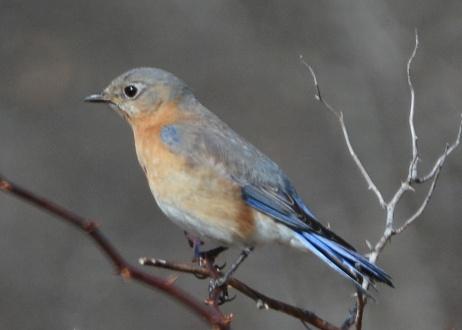 Bluebird21Apr14#002E2c5x7