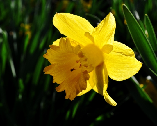 Daffodil5May2011#3E2c8x10