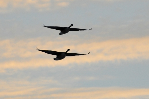 Geese10Mar13#352E