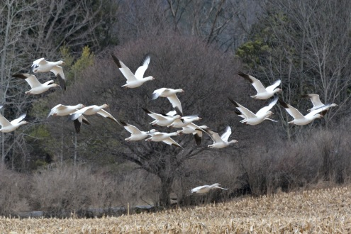 SnowGeese5Apr14#049E
