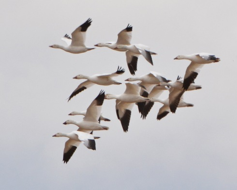 Snowgeese5Apr14#061Ec8x10
