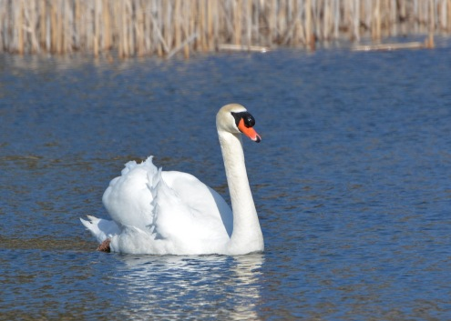 Swan10Apr14#055Ec5x7