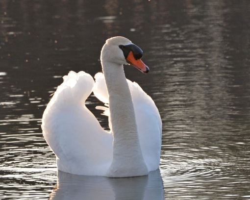 Swan19Apr14#041Ec8x10