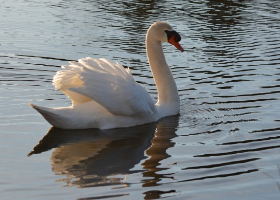 Swan19Apr14#053Ec5x7