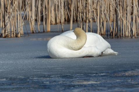 Swan1Apr14#076E