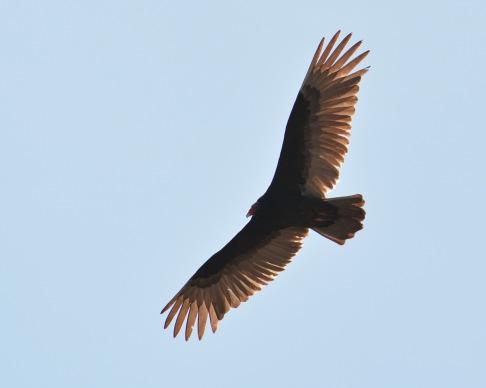 Vulture10Apr14#042Ec8x10