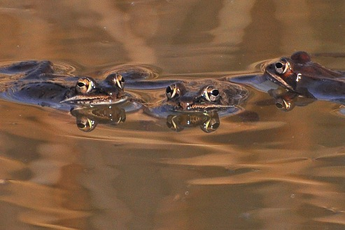 WoodFrogs18Mar12#153E3