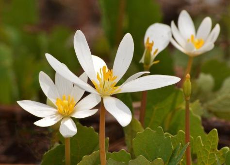 Bloodroot1May14#052E2c5x7