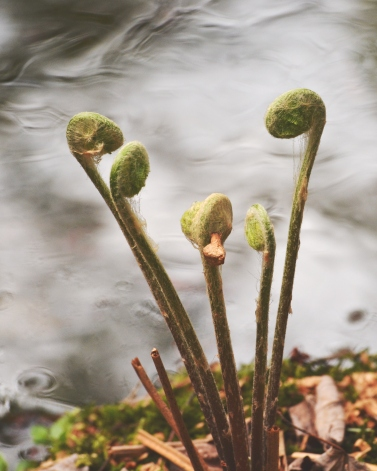 Fiddleheads14May14#046E3c8x10