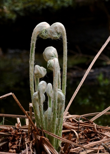 Fiddleheads14May14#057Ec8x10