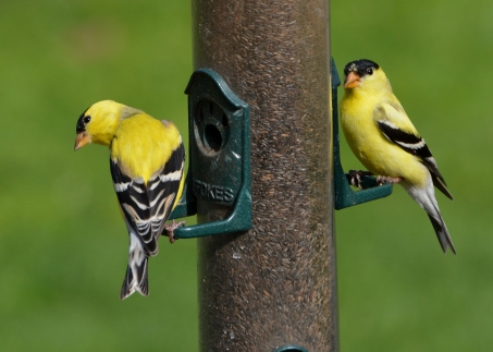 GoldFinches8May14#012Ec4x6