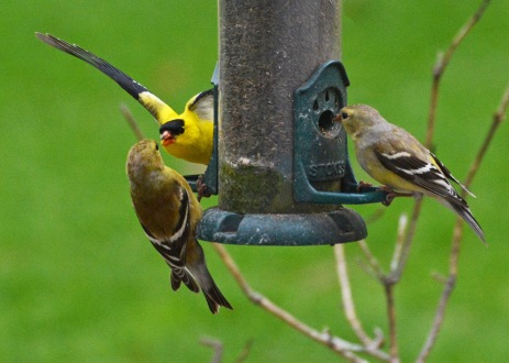 GoldFinches9May14#087E2c5x7