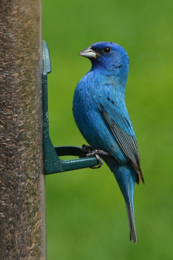IndigoBunting9May14#090Ec4x6